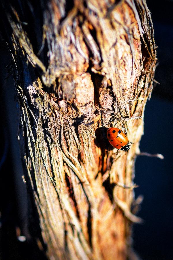 Ladybug on Tree Bark at 2Hawk Vineyard