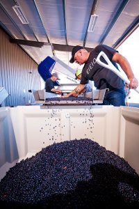 2Hawk Vineyard and Winery Quality Control Grapes