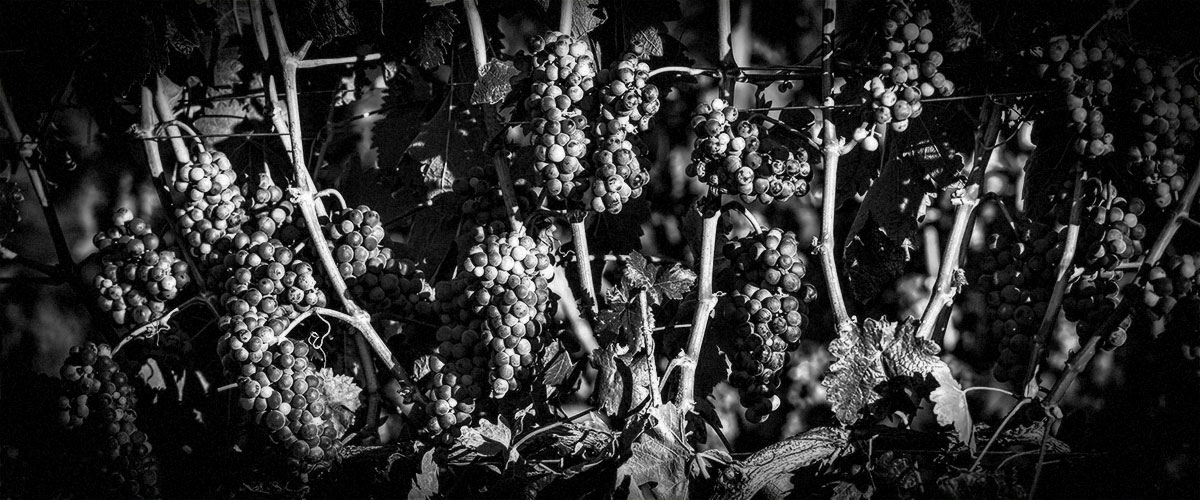2Hawk Vineyard and Winery Grapes on the Vine in Sunlit Vineyard (Grayscale)